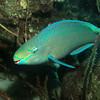 queen parrotfish bonaire 090113