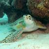 turtle alert bonaire 090513