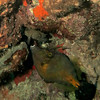 spotted filefish bonaire 090113